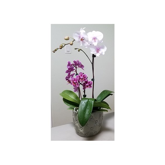 6inch-orchid-everyday-plant-combination-in-a-container-flowerama