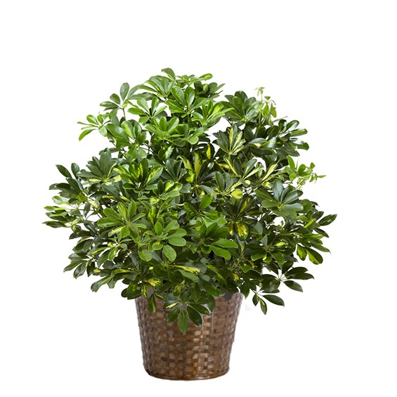 Arboricola-Variegated-Bush-2b