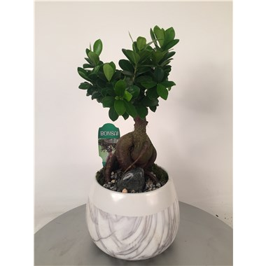 Marble_10in_Ginseng_Ficus